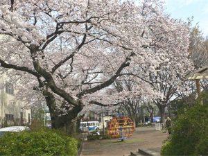 Sakura0043
