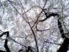 Sakura326